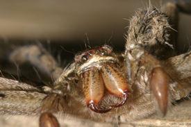 Boden Spider - Ecuador