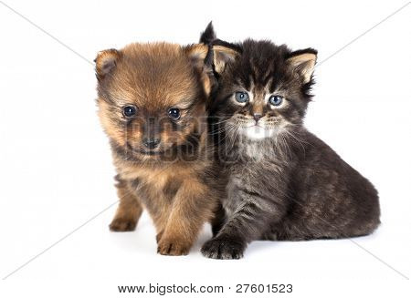 The puppy of the spitz-dog with a kitten