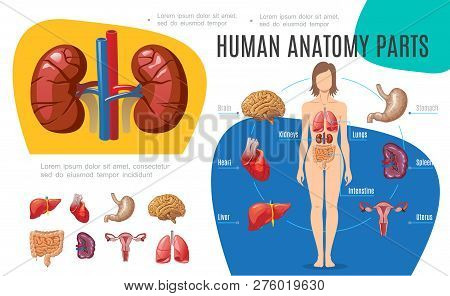 Human Anatomy Infographic Template With Woman Body Brain Stomach Liver Uterus Heart Kidneys Lungs In