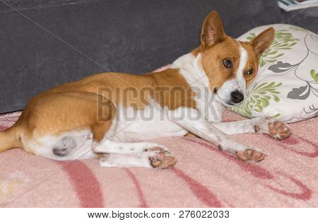 Tired Mature Basenji Dog Lying On A Sofa And Ready To Sleep On A Masters Pillow