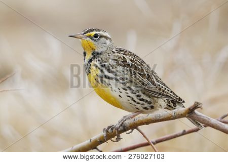 Western Meadowlark (Sturnella neglecta) perched on a branch - Bosque del Apache NWR, New Mexico poster