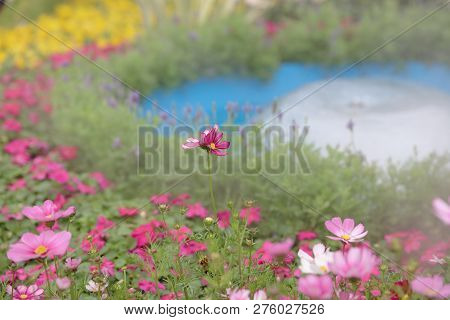 A Cosmos Flower On A Green Back Ground Closeup