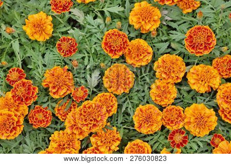 Marigolds Flowers. Plant Of The Daisy Family