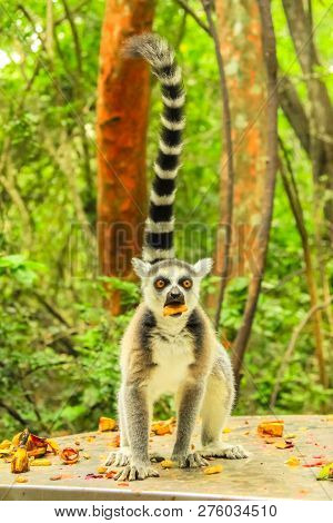 Madagascar Ringtail Lemur With Fruit In The Mouth. Lemur Catta Species Eating Fruits In The Forest.