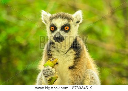 Close Up Portrait Of A Madagascar Ringtail Lemur. Lemur Catta Species Eating Fruits In The Forest.