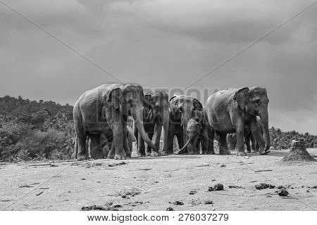 Herd Of Elephants In Pinnawella