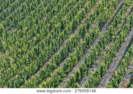 Growing Vine In The Vineyard In Moselle Valley