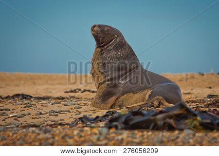 Sea Lion In Waipapa Point In New Zealand