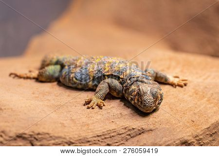 Ornate spiny tailed lizard, Uromastyx ornata, resting on a rock poster