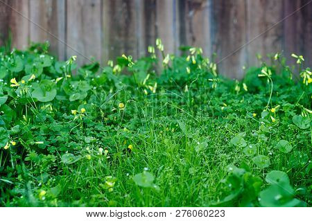 Grassy Field Of Clover And Yellow Wildflowers, In Front Of A Rustic Wooden Fence