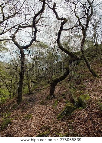 Beech Forest On A Steep Hillside With Twisted Trees In Silhouette Against The Sky