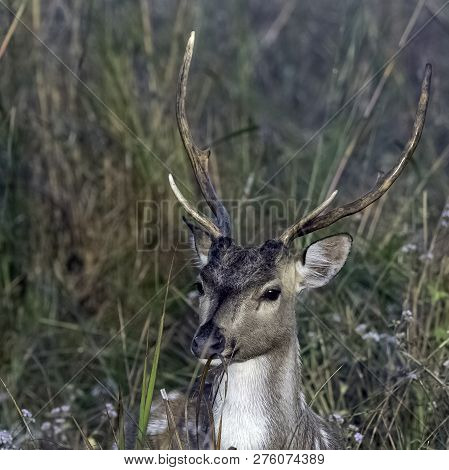 Portrait Of Young Male Chital Or Cheetal (axis Axis), Also Known As Spotted Deer Or Axis Deer - Jim