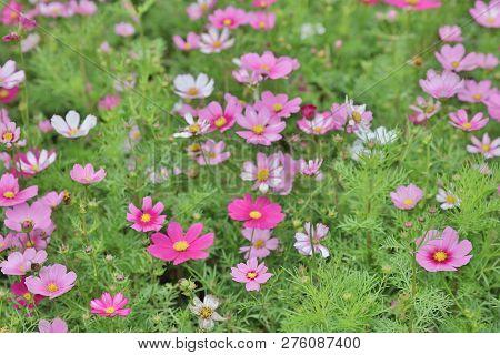 Cosmos Flower Cosmos Bipinnatus With Blurred Back Ground