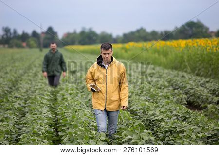 Farmer With Tablet Standing In Soybean Field While Other Farmer Walking In Background