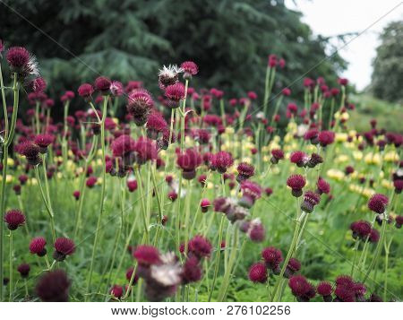 Red Brook Thistle Plants In Flower In A Garden, With Yellow And Green Background