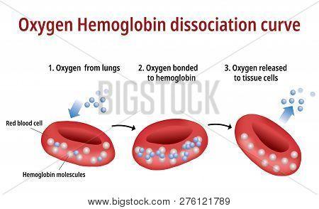 Oxygen Hemoglobin Dissociation Curve - Vector Illustration