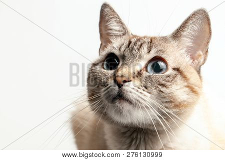 Beautiful Portrait Of A Cat With Blue Eyes. The Cat Looks Up And Waits. Playful Cat Waiting For A To