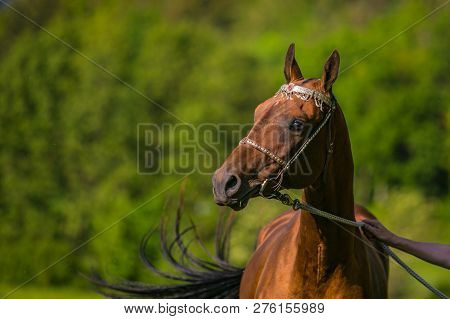 Portrait of young aristocratic chestnut stallion of Akhal Teke horse breed standing on pasture with silver halter on, sunny spring day at a farm, green trees and blue sky in background poster