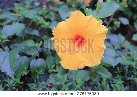 A Hibiscus Flower With Nature Back Ground