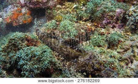 Crocodilefish (papilloculiceps Longiceps) - Perfect Mimicry On The Coral Bottom. Papua Niugini, Indo