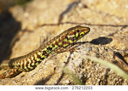 Milos Wall Lizard Closeup, A Very Rare Reptile Prezent Only On This Greek Island ( Podarcis Milensis