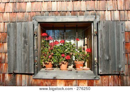 Cute Geranium Window