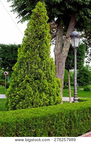 A Hedge Of Trimmed Deciduous Bushes And In The Background An Evergreen Thuja With A Lamppost With A