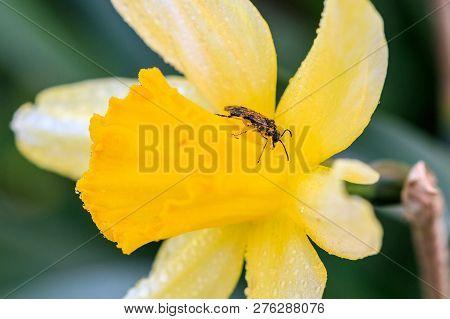 Beautiful Summer Cyclamineus Daffodils A Close Up