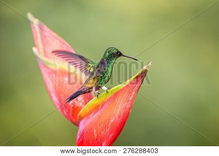 Hummingbird (copper-rumped Hummingbird) Sitting And Drinking Nectar From Its Favourite Red Flower. C