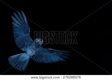 Common Potoo,nyctibius Griseus, Nocturnal Bird With Yellow Eyes In Flight During Night, Hunting For