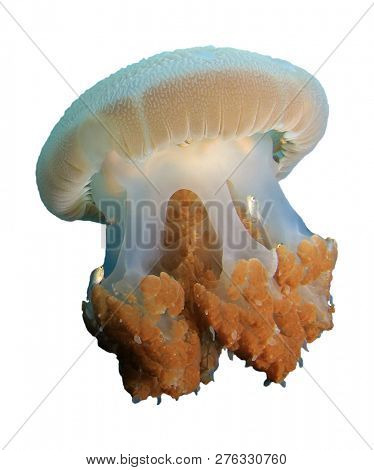 Jellyfish isolated on white background