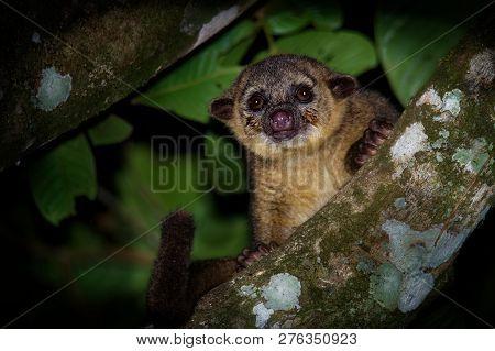 Kinkajou - Potos Flavus, Rainforest Mammal Of The Family Procyonidae Related To Olingos, Coatis, Rac