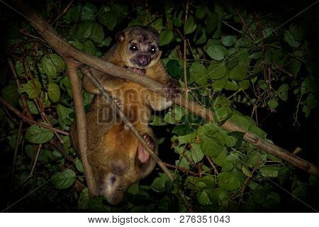 Kinkajou - Potos flavus, rainforest mammal of the family Procyonidae related to olingos, coatis, raccoons, and the ringtail and cacomistle. also known as the honey bear. poster