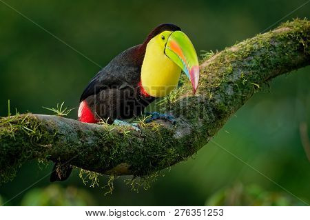 Keel-billed Toucan - Ramphastos Sulfuratus  Also Known As Sulfur-breasted Toucan Or Rainbow-billed T