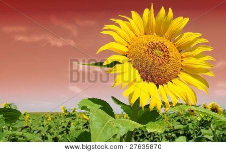 sundown above the sunflower field