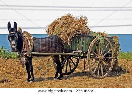 Donkey pulling an ancient handcart full of hay