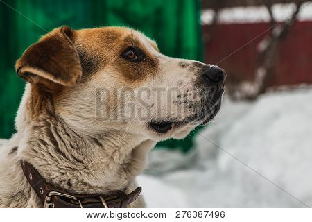 poster of A Head of a big beautiful pooch brown-white dog with brown eyes in a brown leather collar is guarding the yard