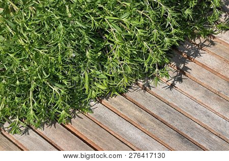 Colorful And Crisp Image Of Summer Savory Cropped On Wooden Planks