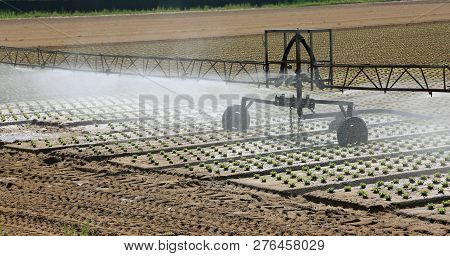 Automatic Irrigation System In The Cultivated Field With Fresh Shoots Of Tender Lettuce In The Summe