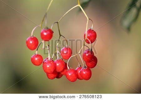 Red Berries Of Solanum Dulcamara Or Bittersweet Nightshade