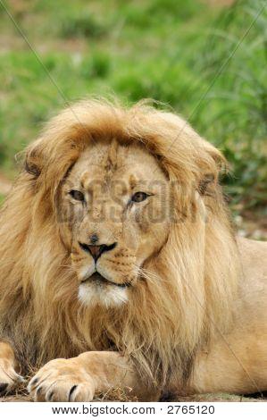 Lion Portrait - Vertical