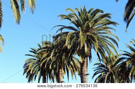 Blue Sky And California Fan Palm Tree