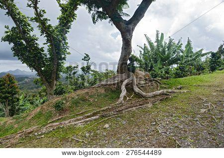 Kapok Tree Or Ceiba Pentandra And Vegetation On Hilltop Of Cordillera Central Near Ponce Puerto Rico