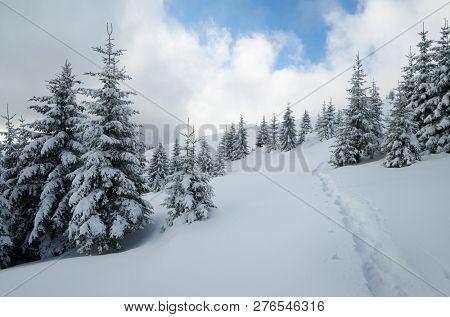 Snowy fir forest on a hillside. Footpath in the snow. Cloudy winter day. Eastern Carpathians, Ukraine