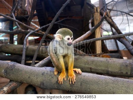 The Squirrel Monkeys Are New World Monkeys Of The Genus Saimiri. They Are The Only Genus In The Subf