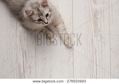 Fluffy Gray Kitty Lay On Wooden Floor Above Top View