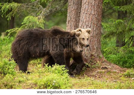 Close-up Of Two Young Eurasian Brown Bears Walking In The Boreal Forest, Finland.