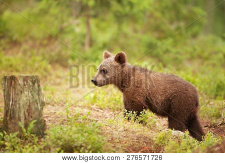 Eurasian Brown Bear Cub Standing In Boreal Forest On A Sunny Afternoon