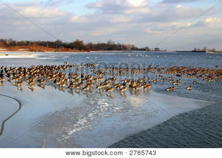 Geese On The Ice