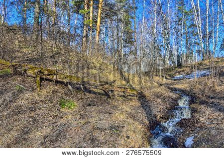 Early Spring Landscape In The Forest, Where  White Birches, Green Pine Trees And First Young Grass,